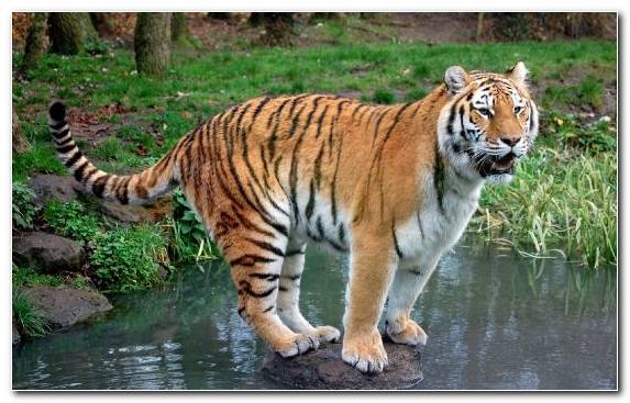 Image Bengal Tiger Terrestrial Animal Zoo Wildlife