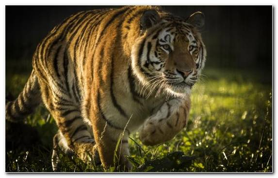Image Bengal Tiger Tiger Siberian Tiger Wildlife Grass