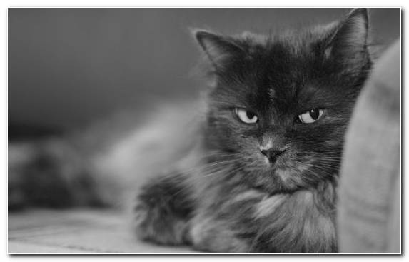 Image Bicolor Cat Black And White Kitten Black Cat Snout