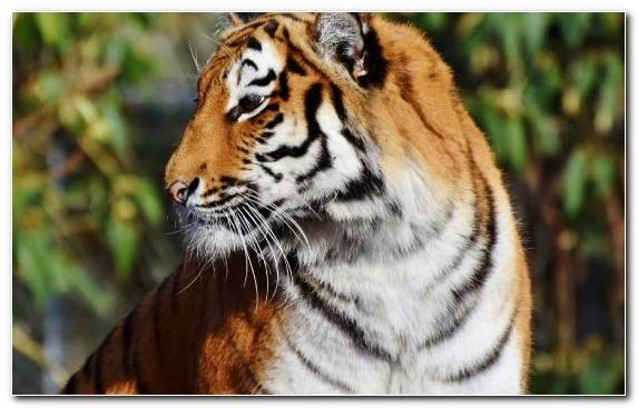 Image Big Cat Bengal Tiger Grasses Felidae Whiskers