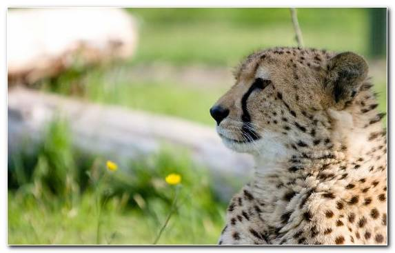 Image Big Cat Cheetah Profile