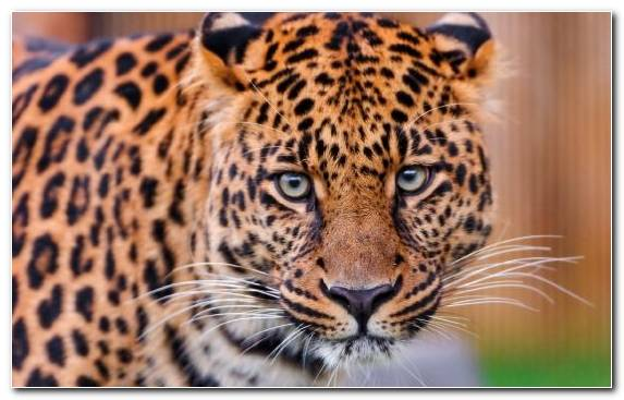 Image Big Cat Fauna Mammal Wildlife Amazing Animals Leopards