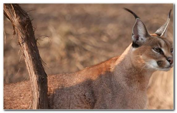 Image Big Cat Kitten Caracal Animal Puma
