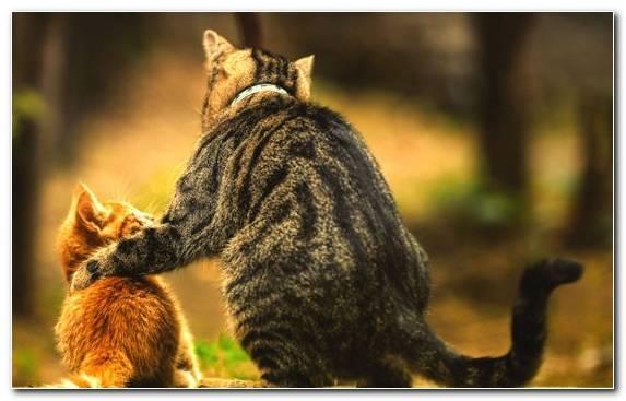 Image Big Cat Pet Wildlife Kitten Small To Medium Sized Cats