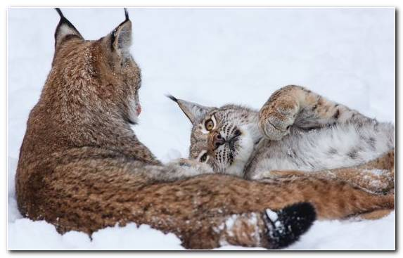 Image Big Cat Small To Medium Sized Cats Fauna Wildlife Bobcat