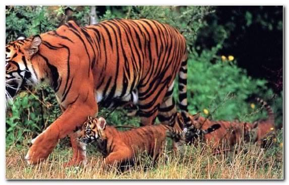 Image Big Cat Tiger Cat Grass National Park