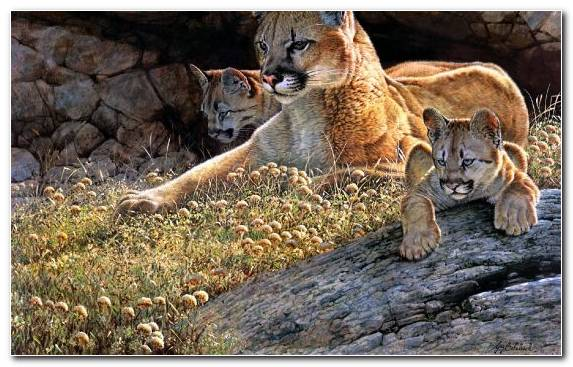 Image Big Cats Artist Puma Wildlife Animal