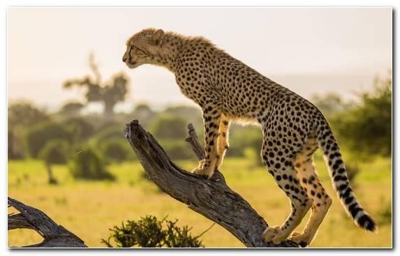 Image big cats cheetah africa cat big cat
