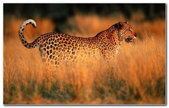 Image Big Cats Leopard Jaguar Big Cat Grassland