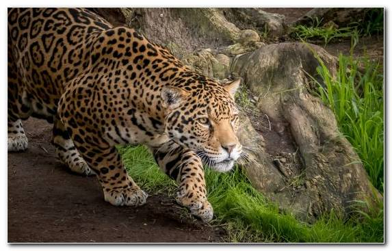 Image Big Cats Ocelot Wilderness Terrestrial Animal Cat