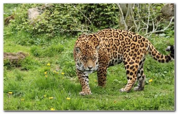Image big cats puma cheetah nature reserve cat