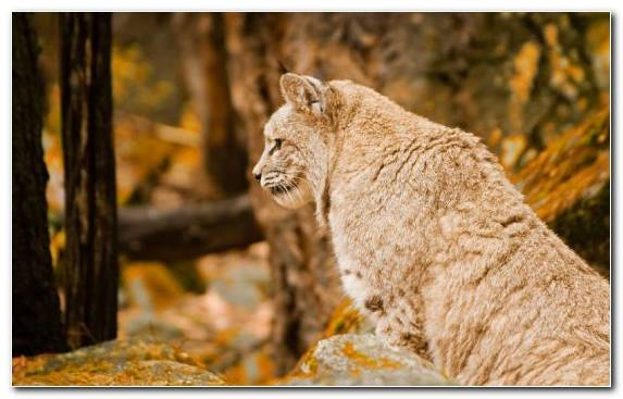 Image Big Cats Tree Wildlife Lion Bobcat