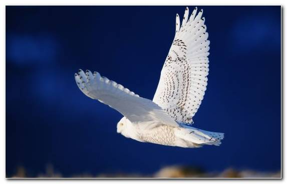 Image Bird Barn Owl Falcon Great Horned Owl Wildlife