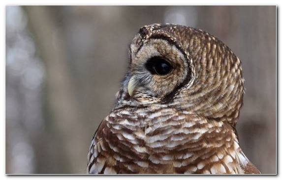 Image Bird Barred Owl Owl Fauna Wildlife