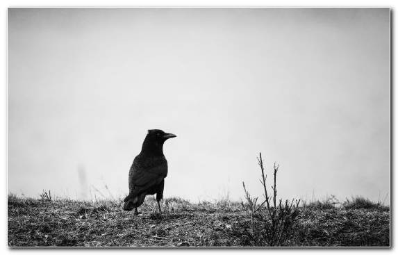 Image Bird Black And White Monochrome Beak Wildlife