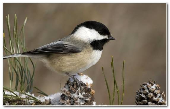 Image Bird Black Capped Chickadee Emberizidae Wildlife Bird Feeder