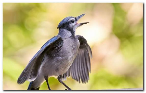 Image Bird Feather Wildlife Pierrot Blue Jay