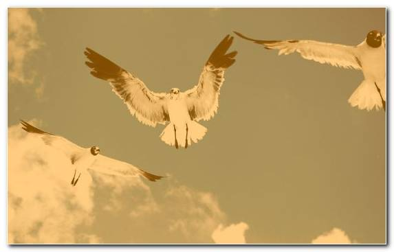 Image Bird Flight Gulls Eagle Pierrot Pigeons And Doves