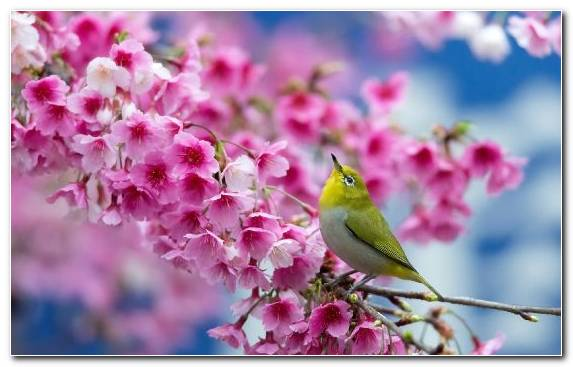 Image Bird Flora Prunus Padus Pinkie Bloom