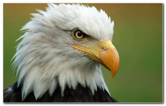 Image Bird Hawk Oryol Eagle Pierrot
