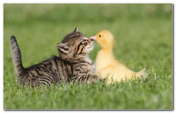 Image Bird Maine Coon Kitten Wildlife Funny Animal