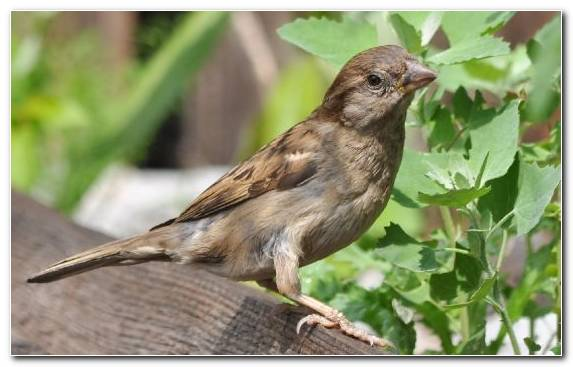 Image Bird Nightingale Sparrow House Sparrow Beak