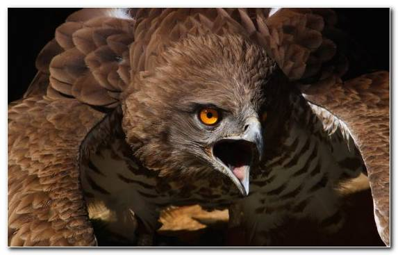 Image Bird Of Prey Bird Hawk Red Tailed Hawk Wildlife