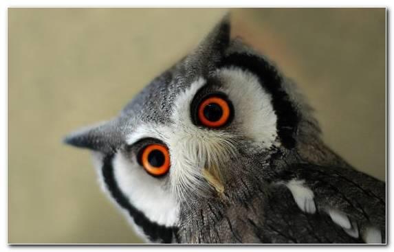 Image Bird Of Prey Owl Fauna Eurasian Eagle Owl Bird
