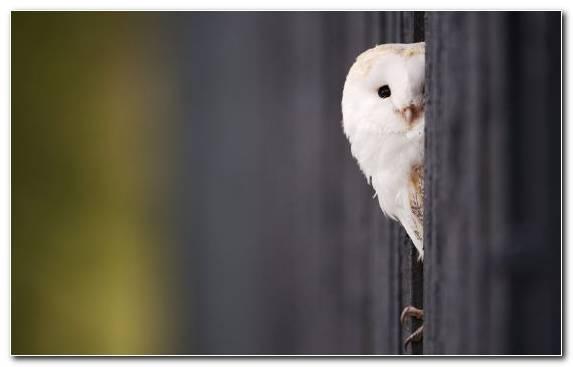 Image Bird Of Prey Snowy Owl Fauna Wildlife Beak