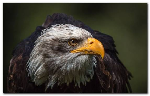 Image Bird Of Prey Wildlife Beak Bald Eagle Close Up