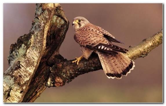 Image Bird Owl Buzzard Barred Owl Hawk