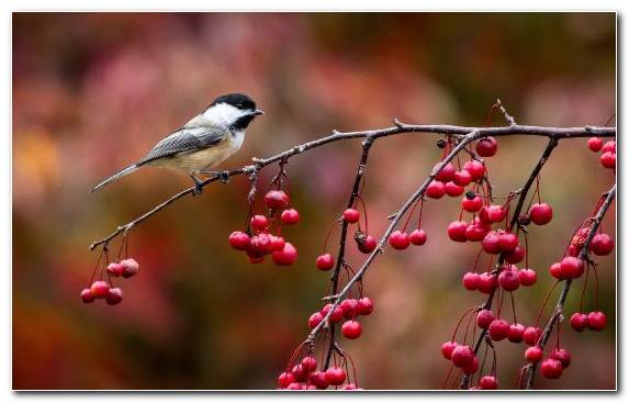 Image Bird Red Beak Rose Hip Flora