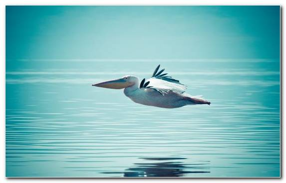 Image Bird Seabird Pelican Beak Water Bird