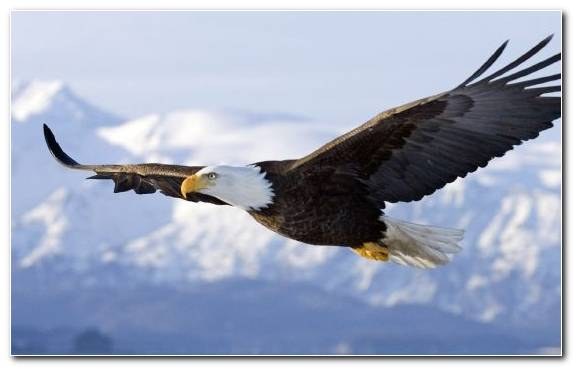 Image Bird Sky Eagle Bald Eagle Bird Of Prey