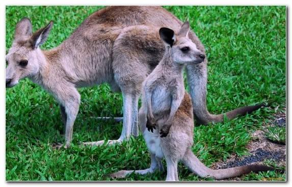 Image Bird Wallaby Australia Wolf Marsupial