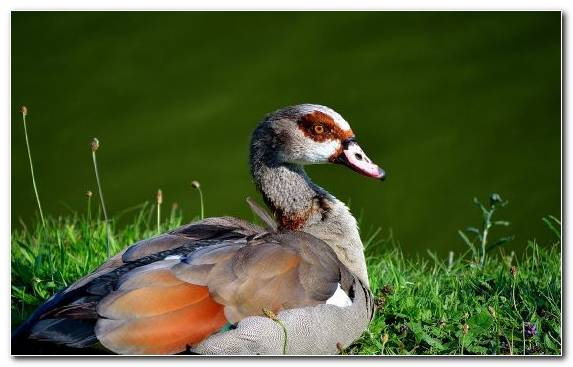 Image Bird Water Bird Waterfowl Grass Beak