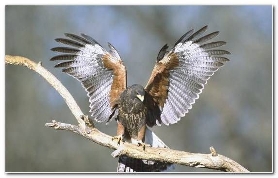 Image Bird Wildlife Buzzard Wing Peregrine Falcon