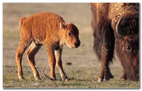 Image Bison Grazing Calf Wildlife Animal