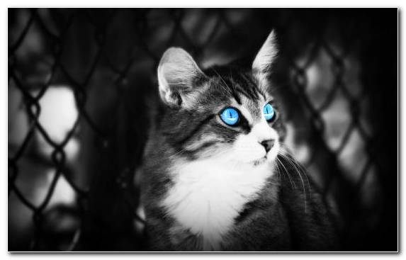 Image Black And White Moustache Bicolor Cat Russian Blue Face