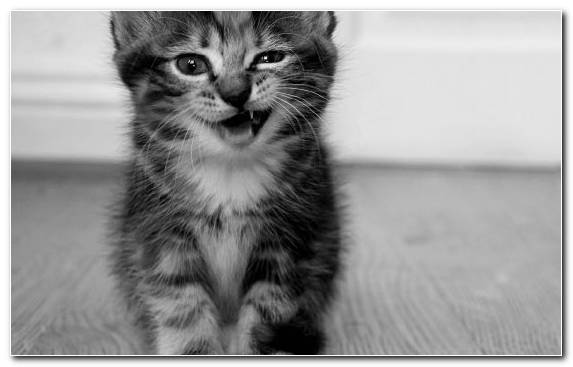 Image Black And White Scottish Fold Small To Medium Sized Cats Snapshot Cuteness
