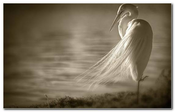 Image Black And White Sunlight Heron Monochrome Cattle Egret