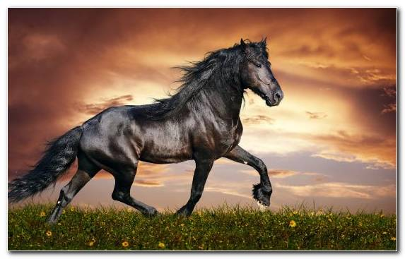 Image Black Arabian Horse Horse Grazing Wildlife