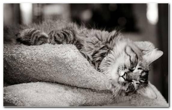 Image black cat black and white monochrome photography mammal fur