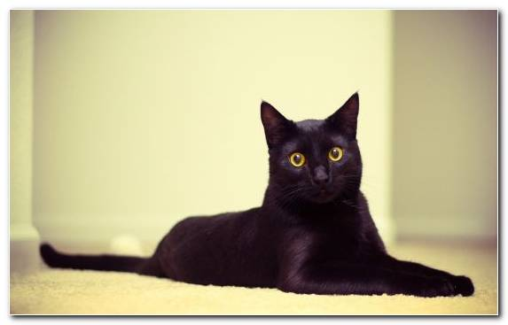 Image Black Cat Persian Cat Bombay Cat Korat Turkish Angora