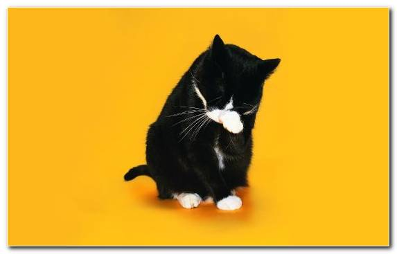 Image Black Cat Small To Medium Sized Cats Polydactyl Cat Veterinarian Snout