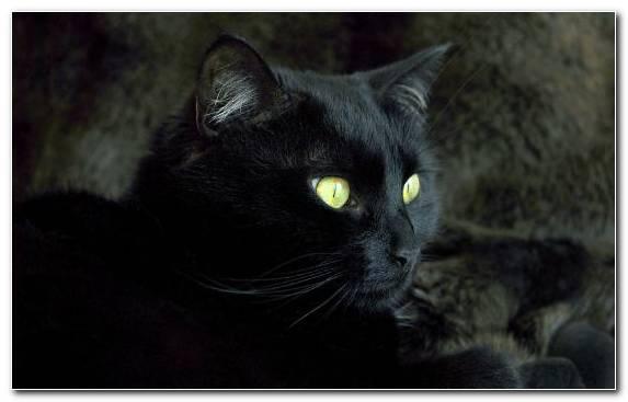 Image Black Panther Fauna Persian Cat Mammal Kitten