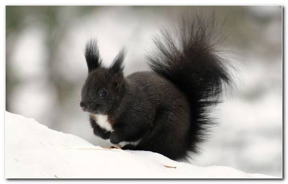 Image Black Squirrel Rodent Animal Tail Snow