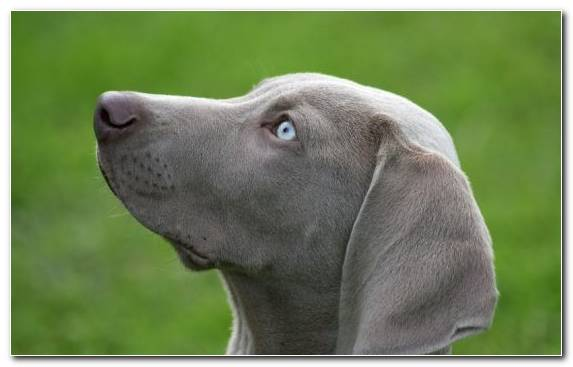 Image Blue Lacy Labrador Retriever Animal Puppy Blue