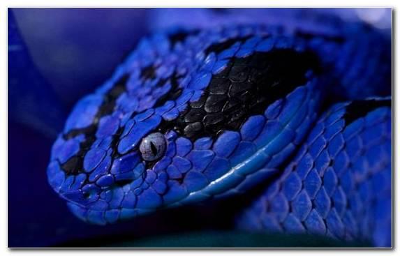 Image Blue Rattlesnake Scaled Reptile Vertebrate Macro Photography