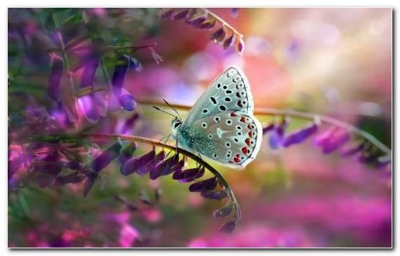 Image Blues Pollinator Flower Moths And Butterflies Nectar